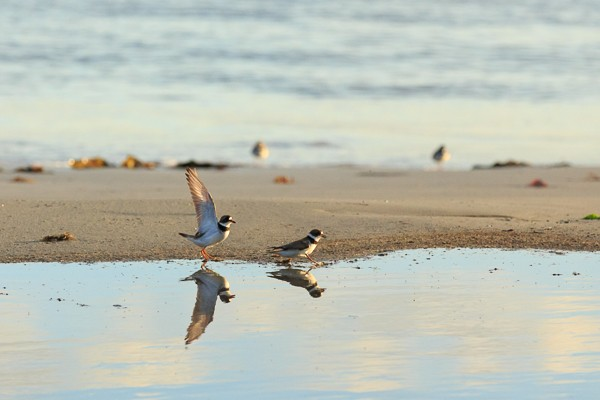 Two Plovers in Nova Scotia